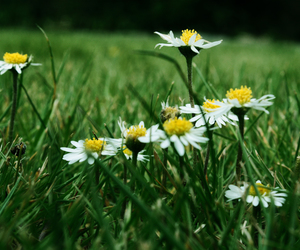 daisies, lawn, and flower image
