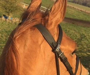 chestnut, equestrian, and horse image