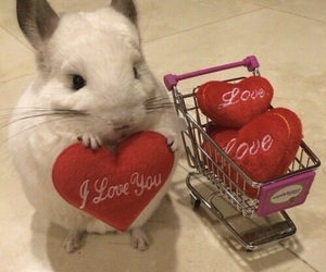 love, animal, and Chinchilla image