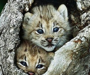 lynx, animal, and kittens image