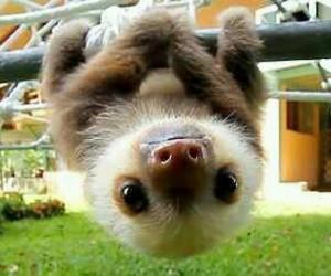 animal, cute, and sloth image