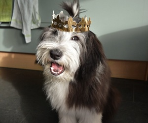 bearded, birthday, and collie image