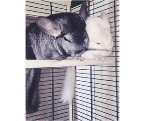 animal, animals, and Chinchilla image