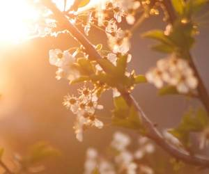 cherry blossom, nature, and flower image