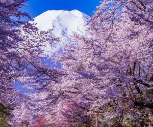 cherry blossom, flower, and mountain image