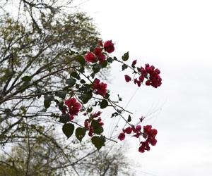 flores, naturaleza, and bugambilia image