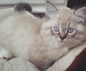 cat, ragdoll, and cute image