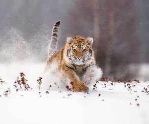 siberian tiger, snow, and snowy image