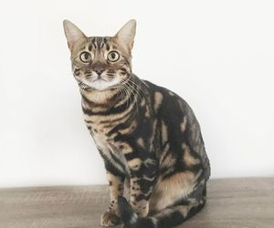 bengal, bengal cat, and bengals image
