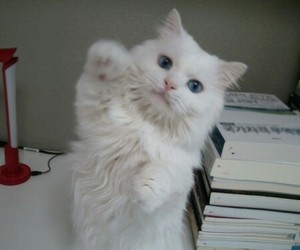 pale and white cat image