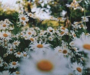 beauty, white, and daisies image