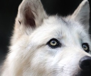 wolf, animal, and aesthetic image