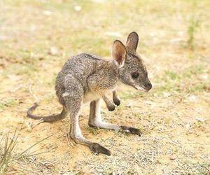 kangaroo, baby, and animal image