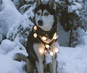 dog, husky, and lights image