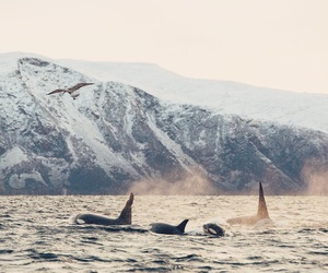 killer whale, mountains, and orca image