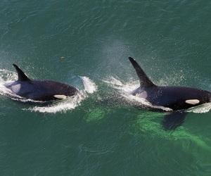 orca, sea, and ocean image