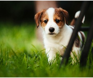 dog, cute, and jack russel terrier image