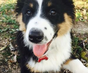 australian shepherd and aussie puppy image