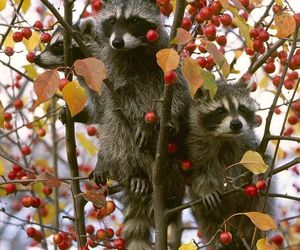 racoon and animals image