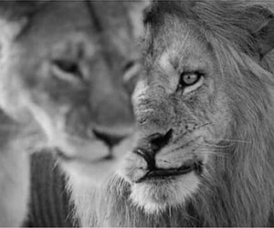 b&w, lions, and looking image