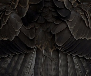 feather, black, and bird image