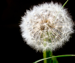 nature, weed, and dandilion image