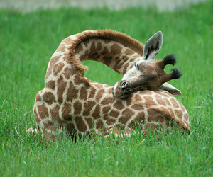 giraffe, animal, and sleep image