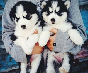 i love huskies image