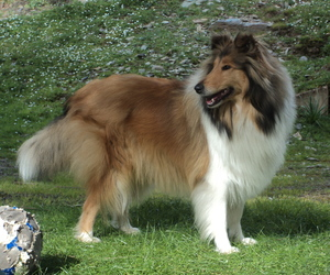 collie, dog, and rough collie image