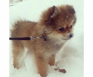 Im in love, pomeranian, and ❤ image