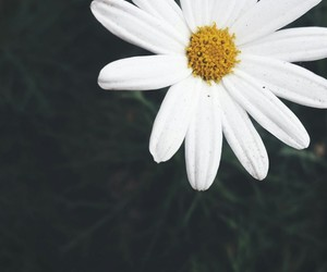 daisy, flower, and petals image