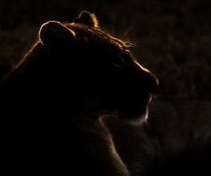gorgeus, light, and lion image