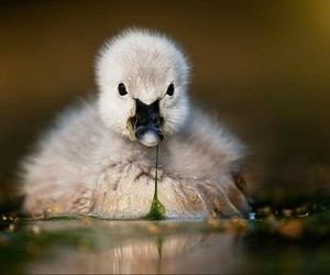 animals, duckling, and cute image