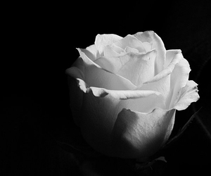 flowers, rose, and blackandwhite image