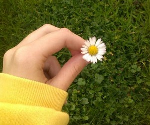 yellow, flowers, and daisy image