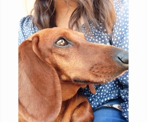 best friend, dachshund, and dog image