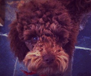 fluffy, poodle, and toypoodle image