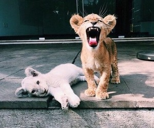cute, animals, and lion image