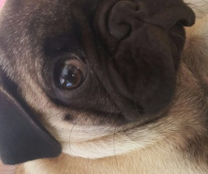 pug, cute, and chancho image