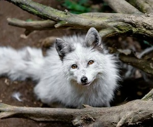 fox and white image