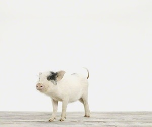 cute, pig, and baby image
