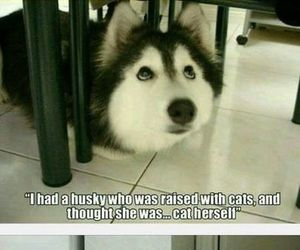 funny, husky, and cat image