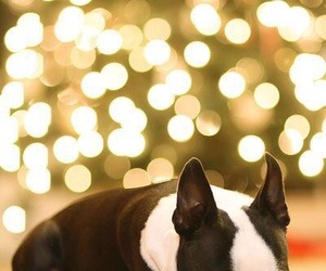 cute, boston terrier, and dog image