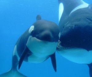 animal, whale, and orca image