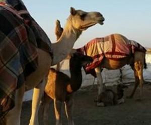 animals, arab, and desert image