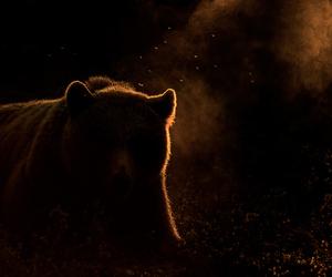 animal, bear, and sun image