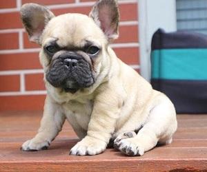 animals, dog, and french bulldog image