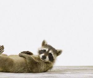 animal, racoon, and raccoon image