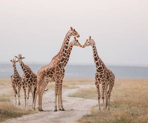 giraffe, animals, and explore image