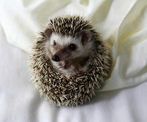 cute and hedgehog image